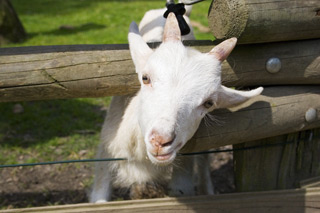 A great reason to visit goats on the roof this weekend!